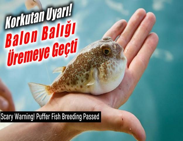 Korkutan Uyarı! Balon Balığı Üremeye Geçti