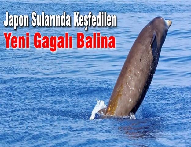 Japon Sularında Keşfedilen Yeni Gagalı Balina
