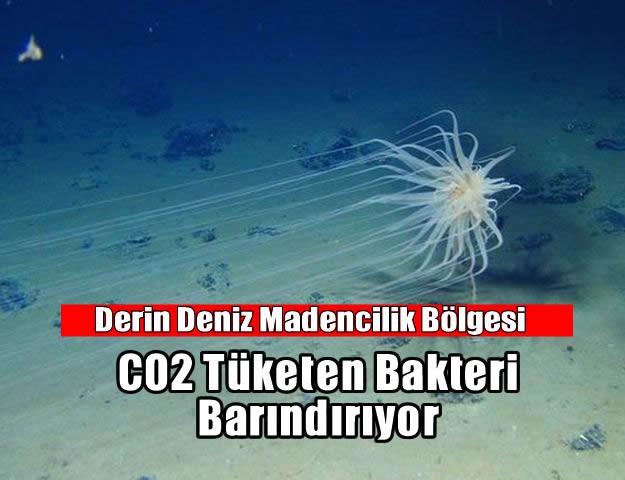 Derin Deniz Madencilik Bölgesi CO2 Tüketen Bakteri Barındırıyor.