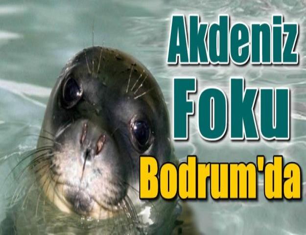 Akdeniz Foku Bodrum'da