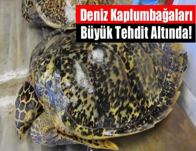 Deniz Kaplumbağaları Büyük Tehdit Altında!