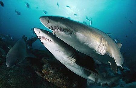 Marmaris'in saldırmayan köpekbalıkları