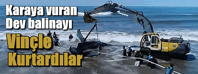 Dev balinayı vinçle kurtardılar